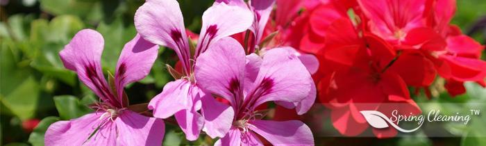 Pelargonium - summer explosion of colors