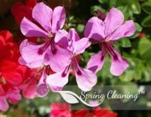 Pelargonium - summer explosion of colors